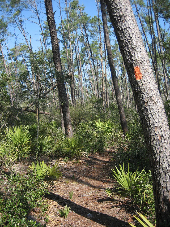 Mature sand pines bend and clank like bamboo in the wind<br /> photo credit: Sandra Friend / Florida Trail Association