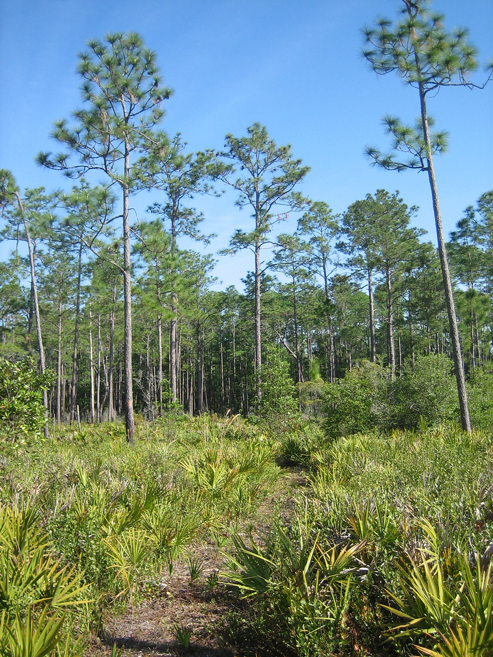 Pine flatwoods, Hulls Creek section<br /> photo credit: Sandra Friend / Florida Trail Association