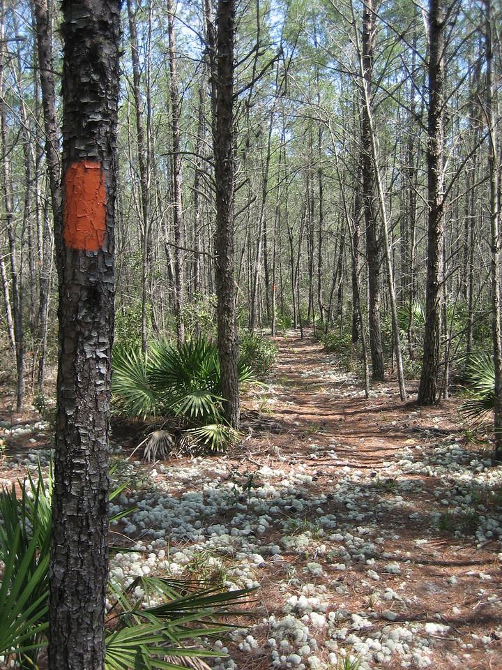The Florida Trail through the Big Scrub <br /> photo credit: Sandra Friend / Florida Trail Association