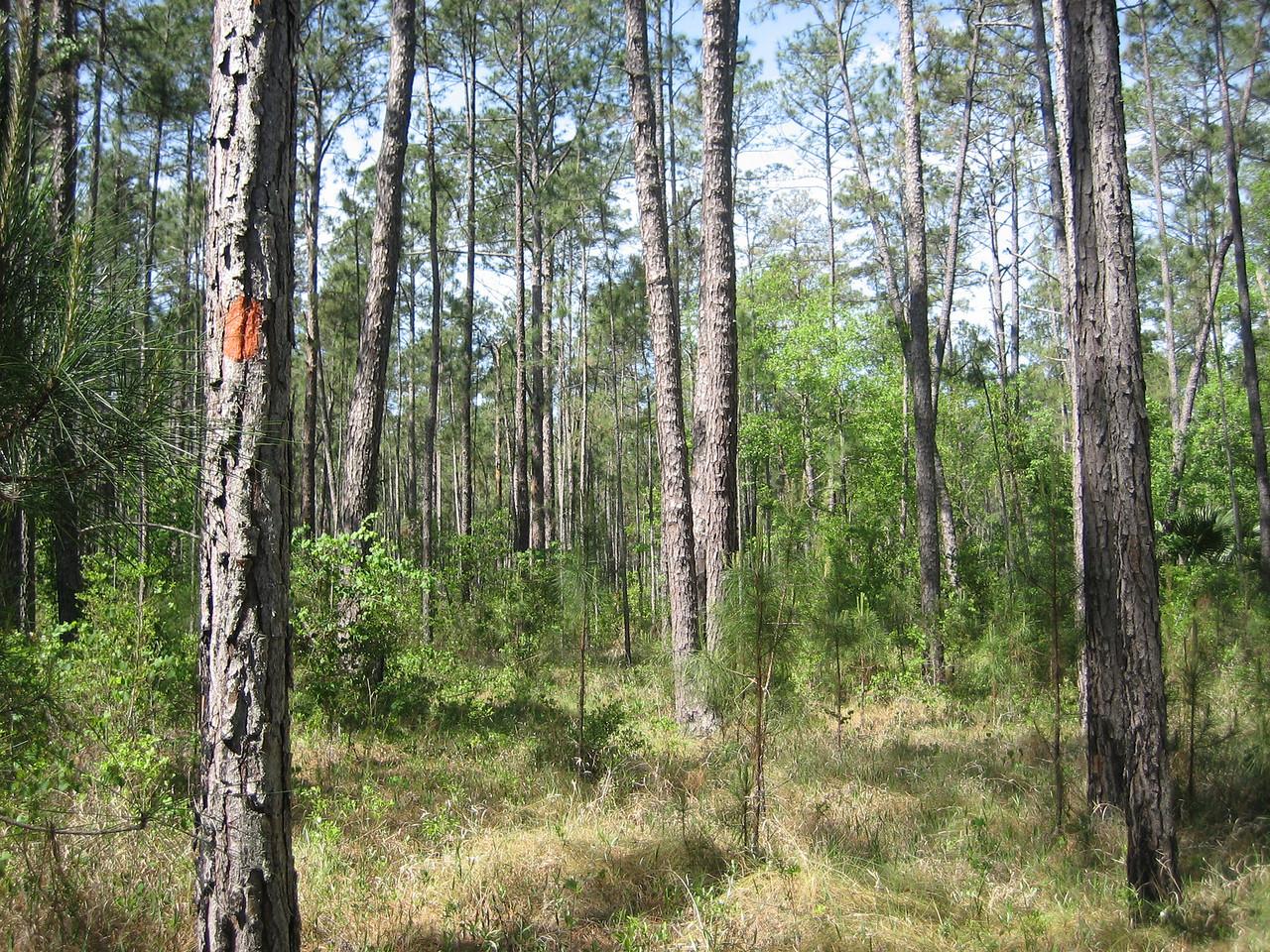 Hiking through the pines near Hulls Creek<br /> photo credit: Sandra Friend / Florida Trail Association