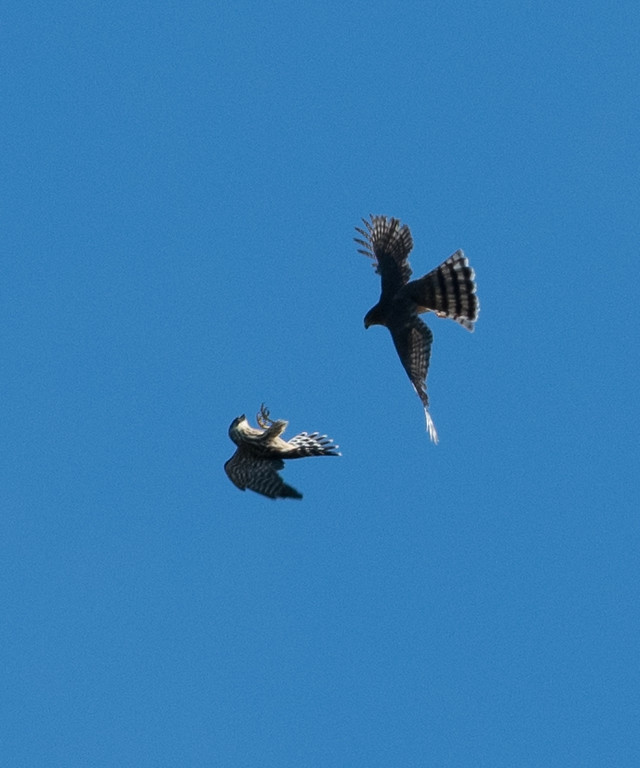 Merlin & Sharp-shinned Hawk