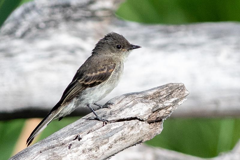 Eastern Phoebe - Juvenile