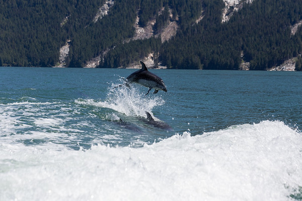 Pacific White-sided Dolphin - Knight Inlet, Vancouver Island, British Columbia, Canada