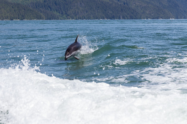 Pacific White-sided Dolphin - Knight Inlet, British Columbia, Canada