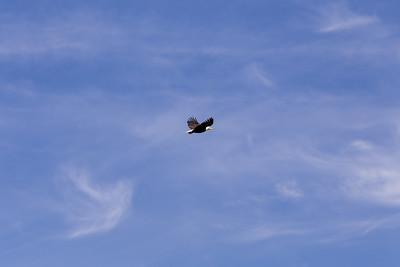 Bald Eagle - Knight Inlet - West Coast, British Columbia, Canada