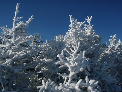 Rime coated Christmas trees