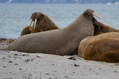 Atlantic Walrus (Odobenus rosmarus). ניבתן