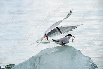 Arctic tern (Sterna paradisaea) שחפית קוטב