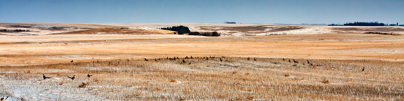 A large group of pheasants scratches the wind swept fields in search of beans buried beneath the snow in North Dakota.