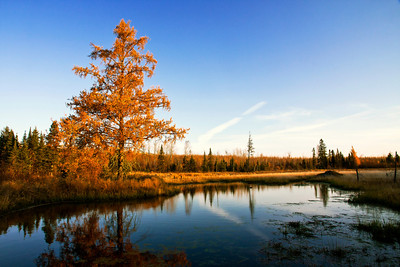 A Tamarack bathes in the morning sun on a small trail near Munger Shaw road.