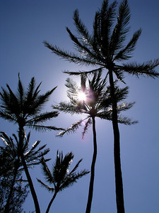 Vegetation  Silhouettes of Coconut palm trees against a blue sky  North Shore, Oahu, Hawaii
