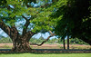 Old Trees Haleiwa Town<br /> 2010