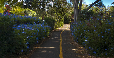 Zoomin down the North Shore Bike Path from Shark's Cove back to Sunset Beach  Blue plumbago flowers along the trail  North Shore, Oahu, Hawaii