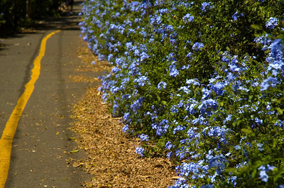 Blue plumbago flowers along the North Shore Bike Path  North Shore, Oahu, Hawaii