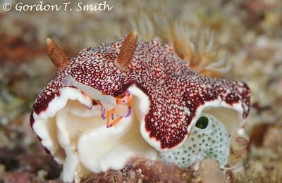 Chromodoris reticulata with Shrimp