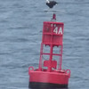 pretty blurry, but I couldn't resist cropping one down for us to see that eagle a bit better as it sits atop the buoy.  I believe he's looking right at us!