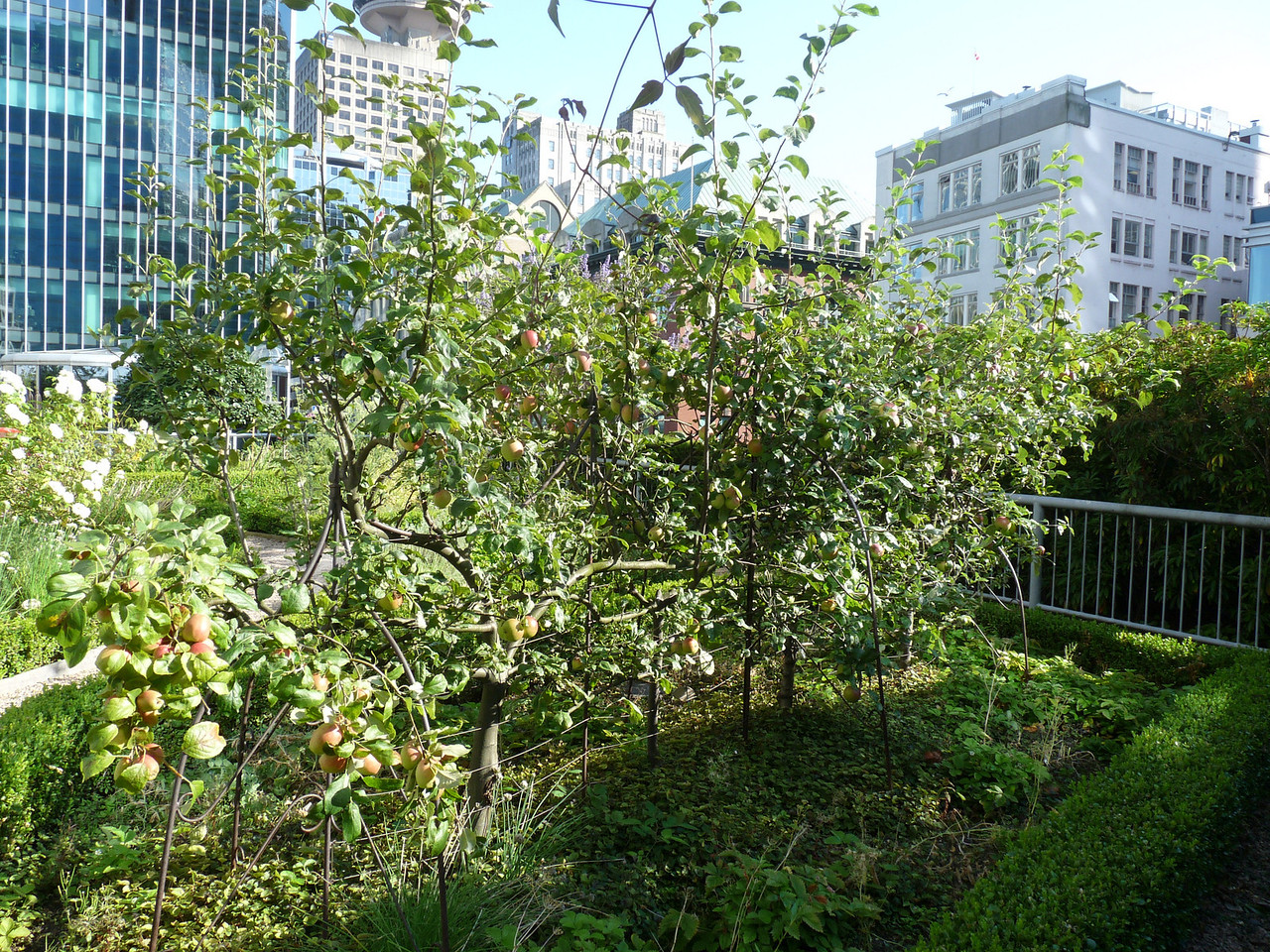 More apple trees, trained on those crazy trellises that I can't think of the name of.