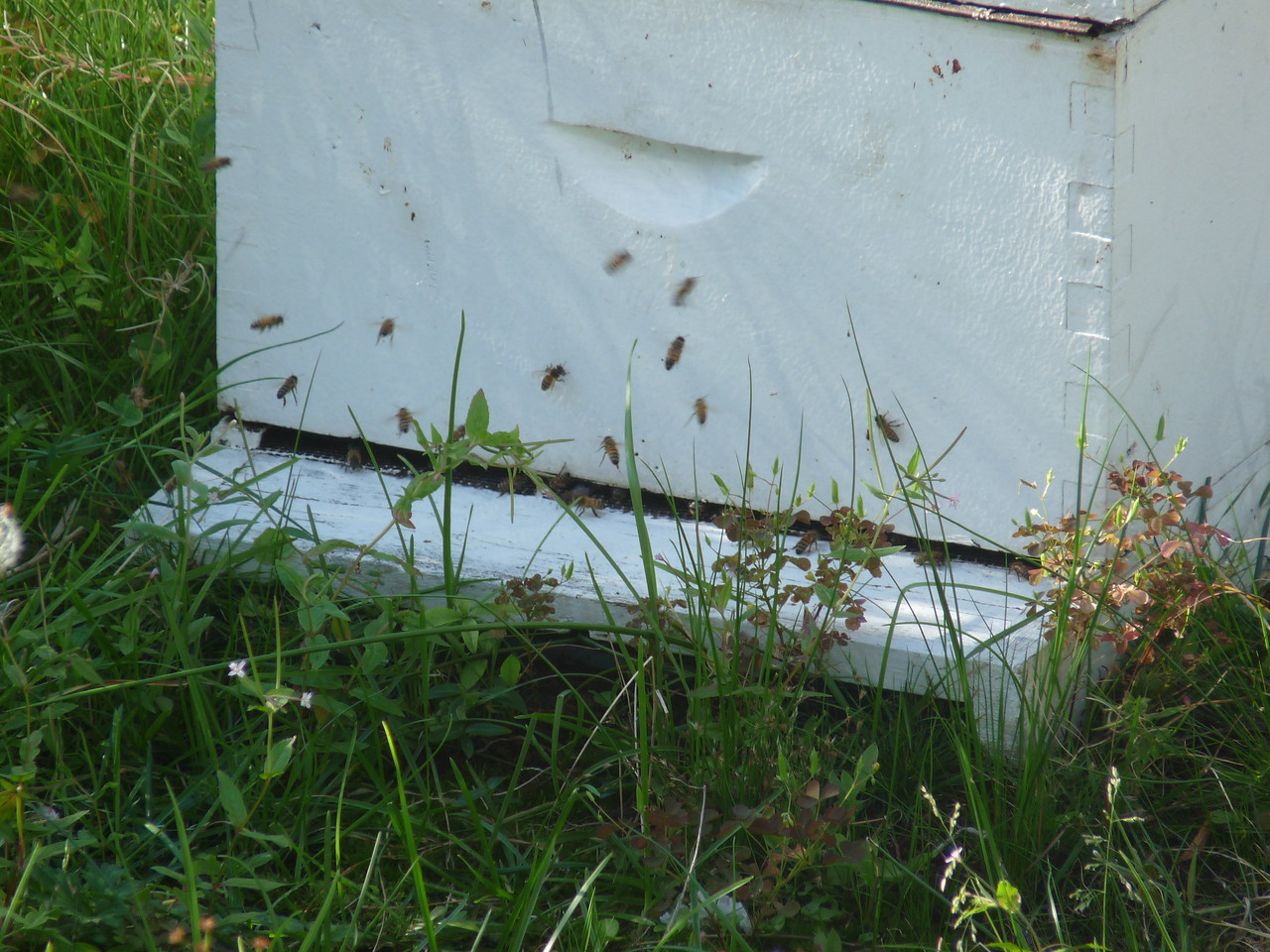 Ah, the busy little workers.<br /> <br /> Many of the downtown buildings have apiaries in their roof-top gardens.