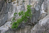 Clinging-to-the-cliff,-Ha-Long-Bay - Copy - Copy