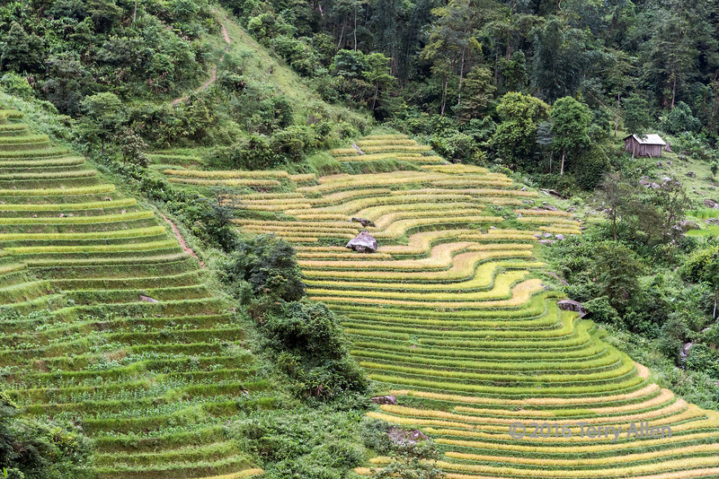 Ripening rice terraces, near Sa Pa, Vietnam