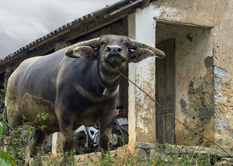 Water buffalo with attitude