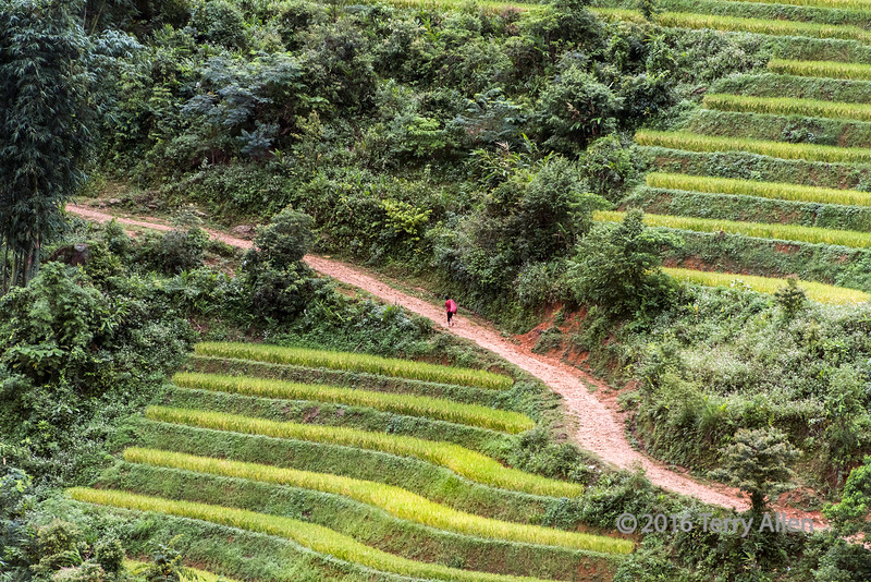 Man in red walking by rice terraces, near Sa Pa, Vietnam