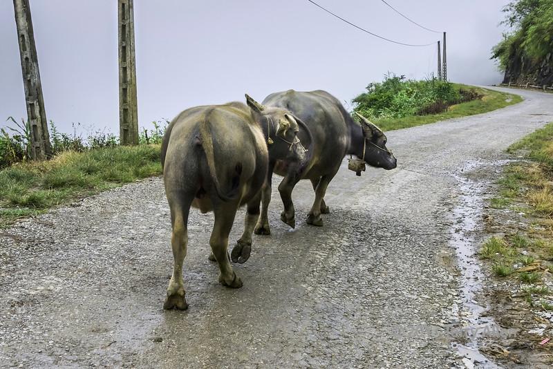 Two water buffalo walking down a rural road near Sa Pa, north Vietnam