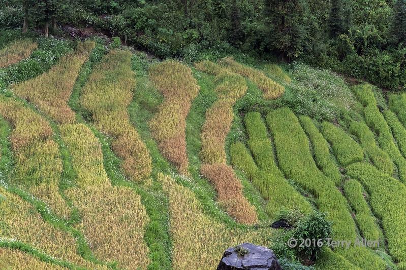 Rice fields nearing harvest time, Hoi Lung Sun, north Vietnam