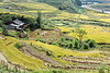 Rice harvest time in the valley of the Muong Hoa River near Ta Van Giay Village, Lao Cai, north Vietnam