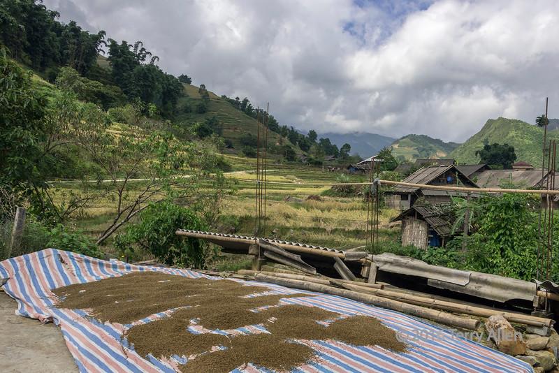 Drying the rice grains in Ta Van valley, Sa Pa, north Vietnam
