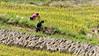 Farmer hand threshing wheat into a wooden box, Ta Van valley, Sa Pa, north Vietnam