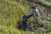 Teaching a young boy to harvest rice, Ta Van valley, Sa Pa, north Vietnam