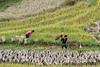 Hand harvesting ripe wheat