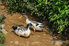 Pair of ducks foraging in a rice terrace irrigation channel, Ta Van valley, Sa Pa, north Vietnam
