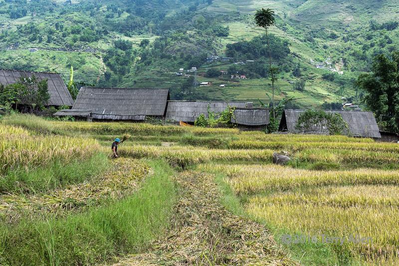 Harvesting ripe rice in Ta Van valley, Sa Pa, north Vietnam