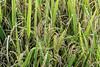 Ripe rice waiting for harvest, horizontal, Ta Van valley, Sa Pa, north Vietnam