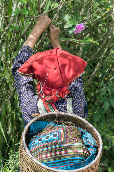 A Red Dao woman with a needle in her hat collects a roadside flower, Ta Van valley, Sa Pa, north Vietnam