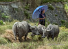 Giay woman minding water buffalos, Ta Van valley, Sa Pa, north Vietnam