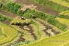 Man and woman harvesting rice, Ta Van valley, Sa Pa, north Vietnam