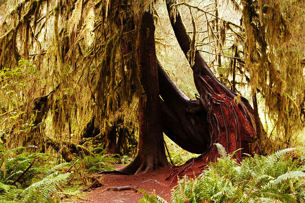 Washington State Quinalt and HOH Rain Forests