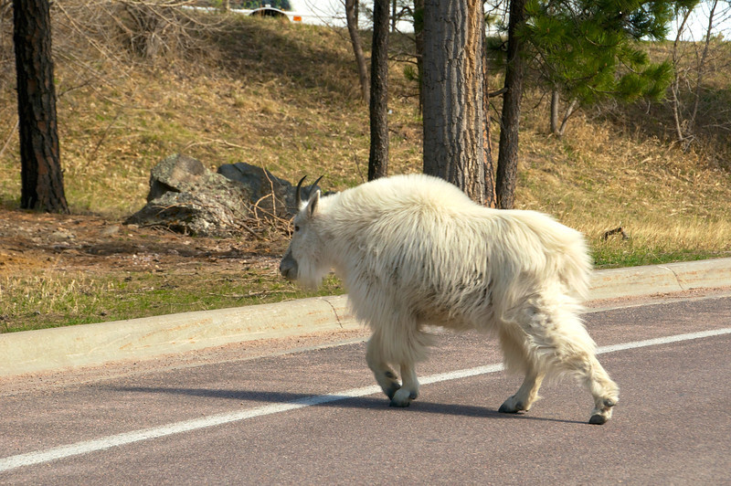 Mountain goat crossing the street, SD