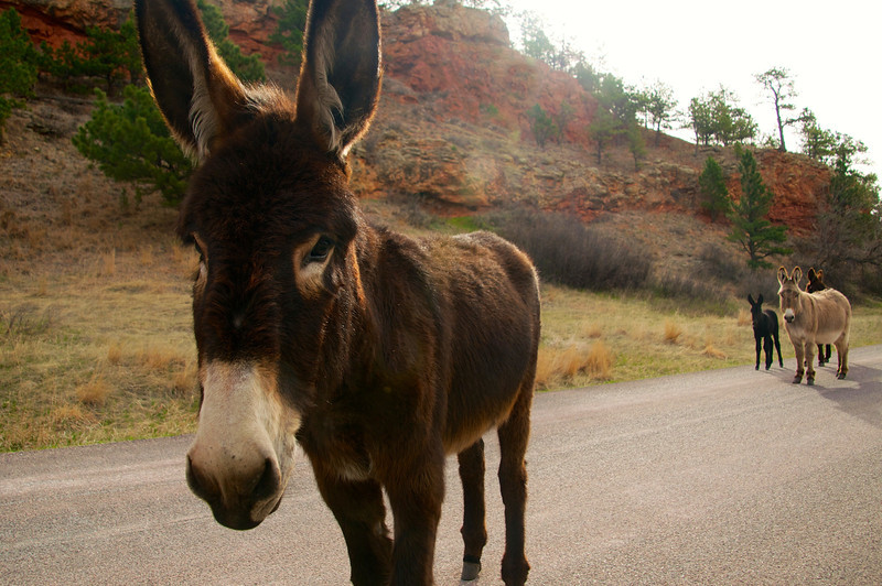 Donkey in the Road, Custer State Park, SD