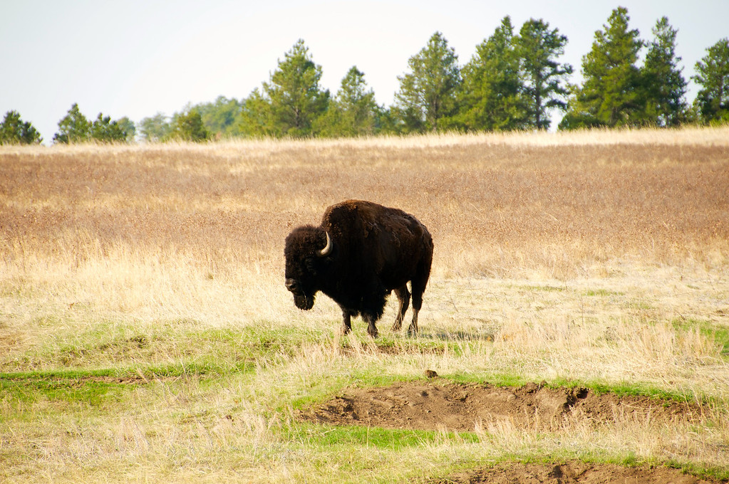 Buffalo!!!!, Custer State Park, SD