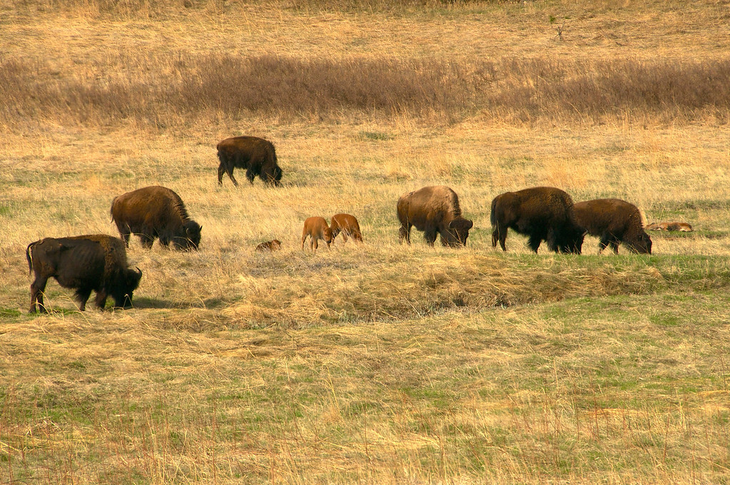 There some baby buffalo, Custer State Park, SD