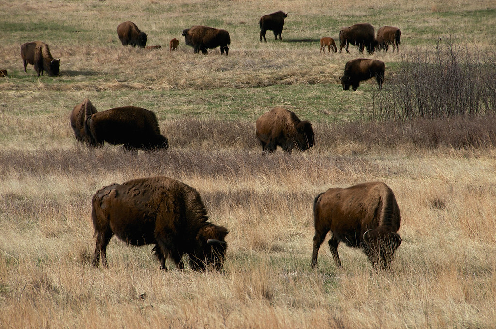 Herd of Buffalo, Custer State Park, SD