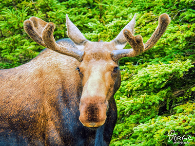 moose at the skyline trail