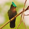 Antillean crested hummingbird (Orthorhyncus cristatus).