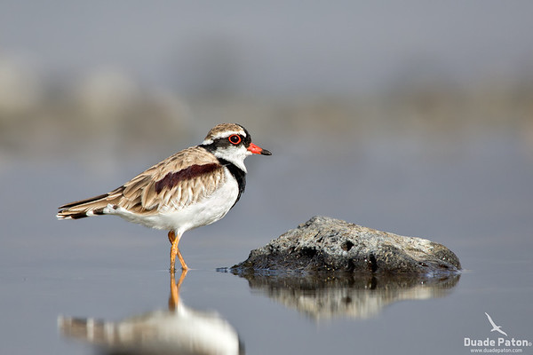 Black-fronted Dotterel