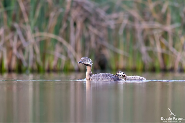 Hoary-headed Grebe and chick