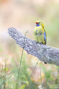 Crimson Rosella (Yellow)